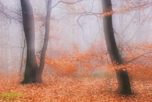 Trees in a misty forest