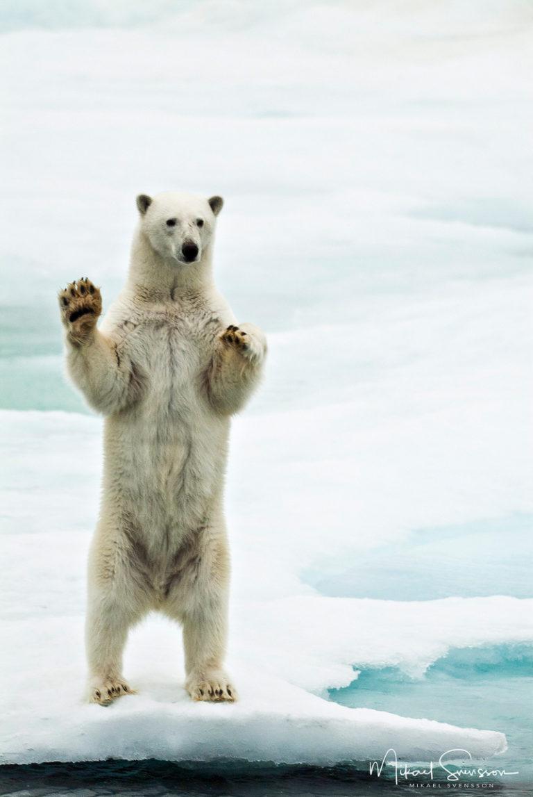 Isbjörn ståendes på bakbenen, Svalbard. Foto: Mikael Svensson, www.mikaelsvensson.com