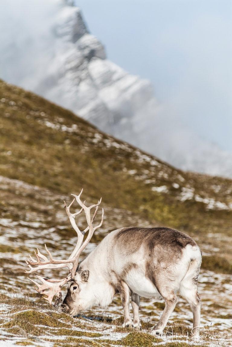 Svalbardsren, Rangifer tarandus platyrhynchus. Foto: Mikael Svensson, www.mikaelsvensson.com