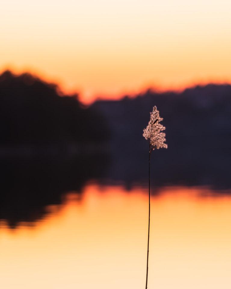 Vass strå vid solnedgång, Rådasjön.