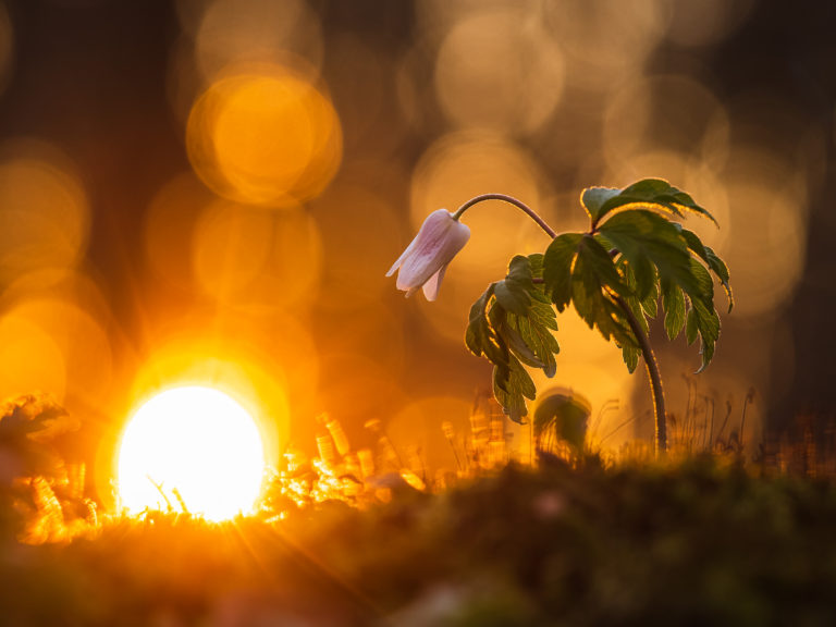 Vitsippa i solnedgång